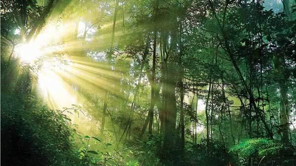 Mạng mộc đại lâm mộc ý nghĩa gỗ của cây trong rừng già