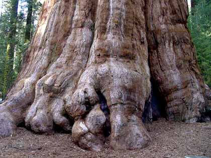 Mạng mộc tùng bách mộc ý nghĩa gỗ của cây Tùng